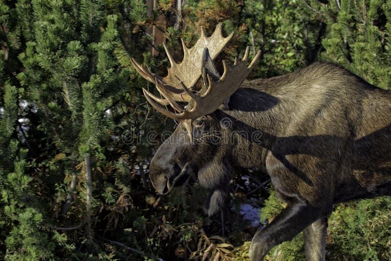 Από την Αλάσκα άλκες πτώσης στοκ εικόνες