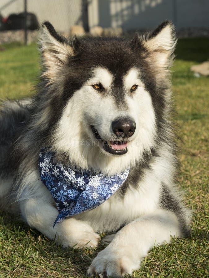 Download από την Αλάσκα σκυλί Malamute Στοκ Εικόνες - εικόνα από κυνοειδής, malamute: 62718640