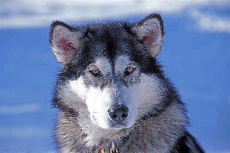 από την Αλάσκα malamute στοκ εικόνα