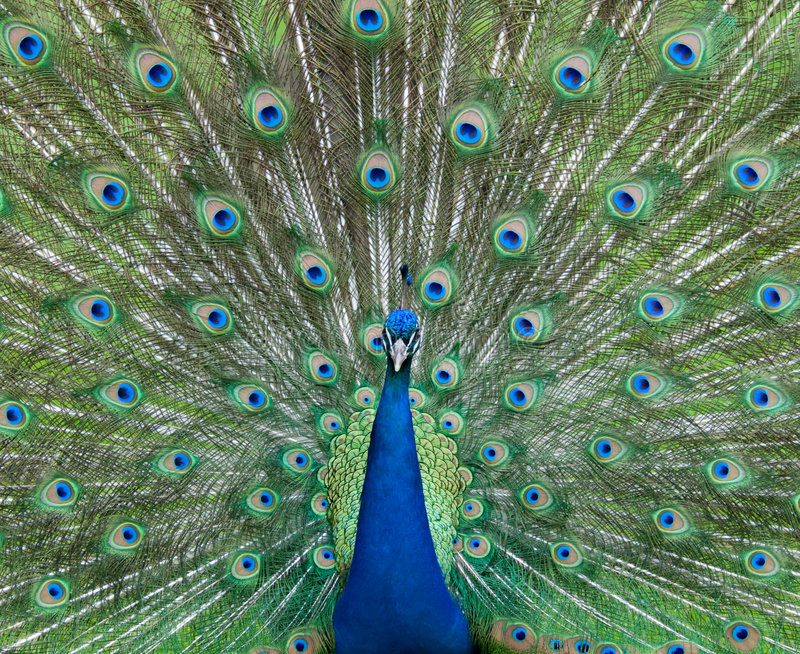 από την εμφάνιση peacock στοκ φωτογραφία με δικαίωμα ελεύθερης χρήσης