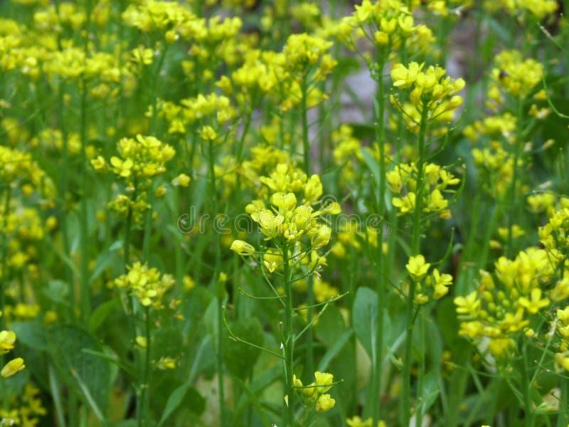 Από την Καντώνα λουλούδι στον κήπο στοκ εικόνα με δικαίωμα ελεύθερης χρήσης