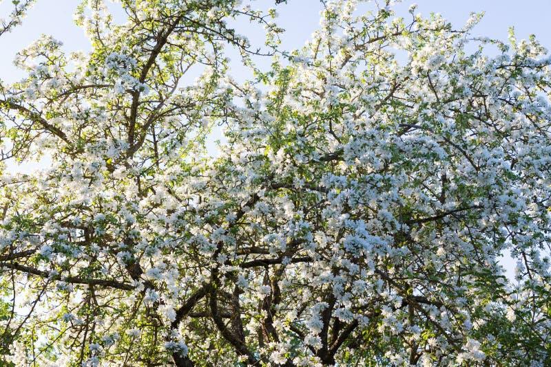 Από το κατώτατο σημείο των άσπρων λουλουδιών δέντρων μηλιάς στοκ φωτογραφία