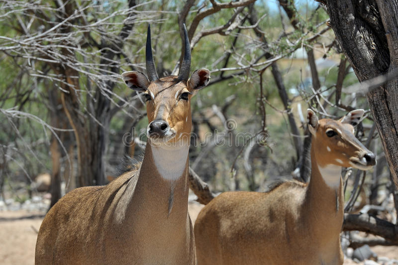 Από το πάρκο ζωολογικών κήπων σαφάρι άγριας φύσης της Αφρικής στοκ φωτογραφία με δικαίωμα ελεύθερης χρήσης