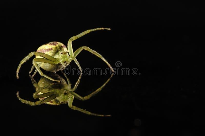 Αράχνη καβουριών με την αντανάκλαση που απομονώνεται στο Μαύρο στοκ φωτογραφίες