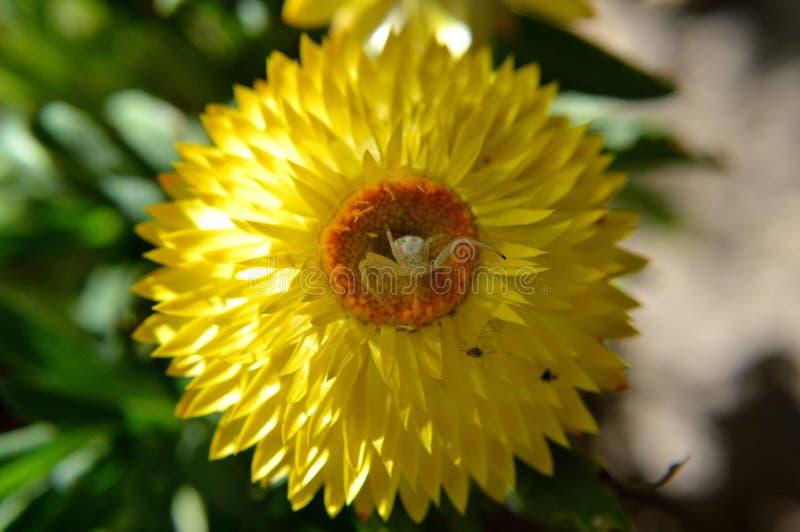 Αράχνη καβουριών σε Dreamtime τεράστιο κίτρινο Strawflower στοκ εικόνες