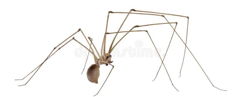 Αράχνη κελαριών που απομονώνεται στο λευκό στοκ φωτογραφία με δικαίωμα ελεύθερης χρήσης
