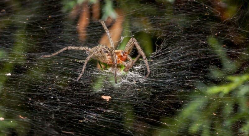 Αράχνη λαβύρινθων που τρώει grasshopper στοκ εικόνες με δικαίωμα ελεύθερης χρήσης
