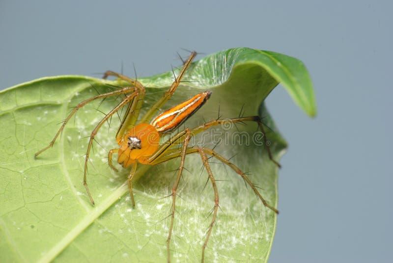 Αράχνη λυγξ στο πράσινο φύλλο στο θολωμένο υπόβαθρο στοκ φωτογραφία