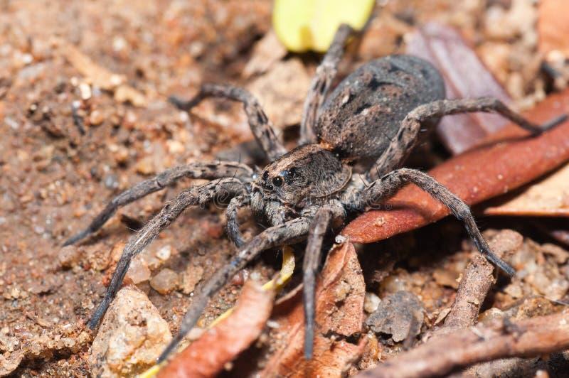 Αράχνη λύκων με το ξηρό vegatation στοκ φωτογραφία
