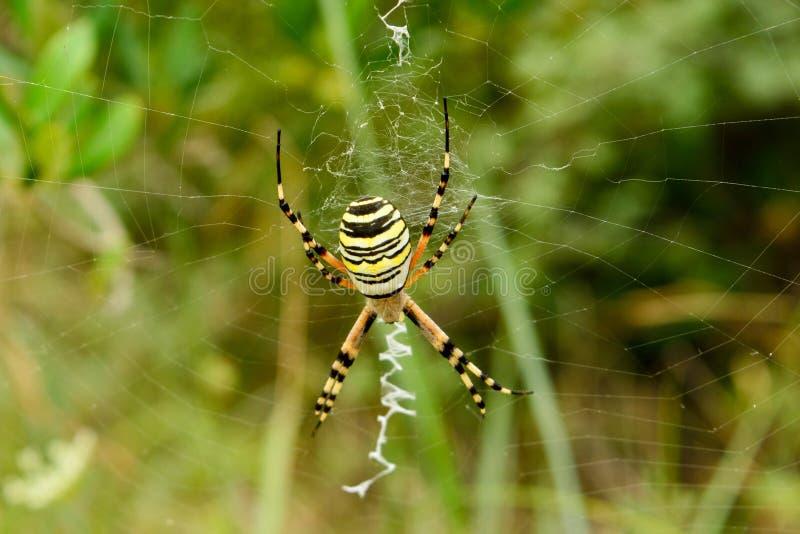 Αράχνη με τα μαύρα και κίτρινα λωρίδες στοκ εικόνα