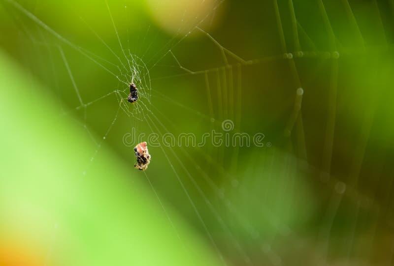 Αράχνη με τα τρόφιμά του στοκ εικόνα με δικαίωμα ελεύθερης χρήσης