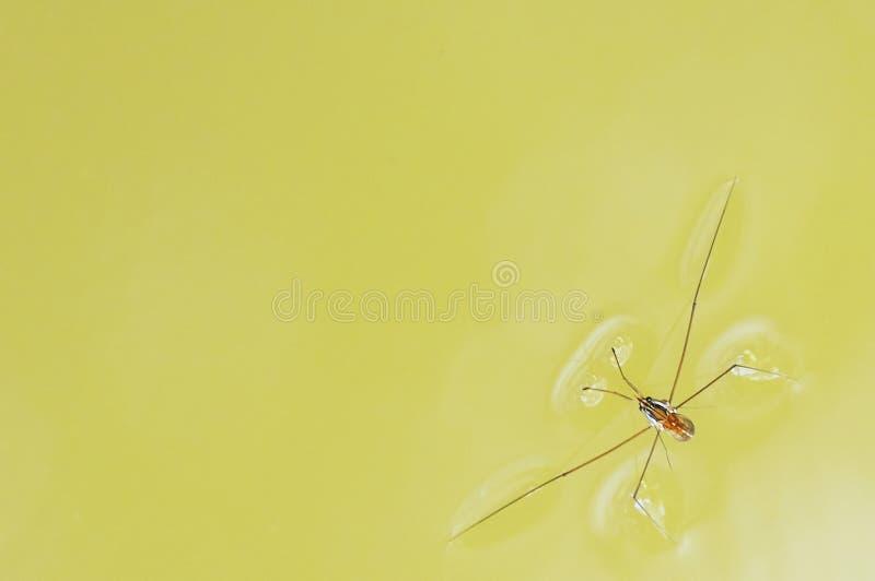Αράχνη νερού στοκ εικόνα