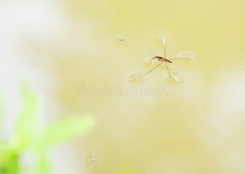 Αράχνη νερού στοκ φωτογραφία με δικαίωμα ελεύθερης χρήσης