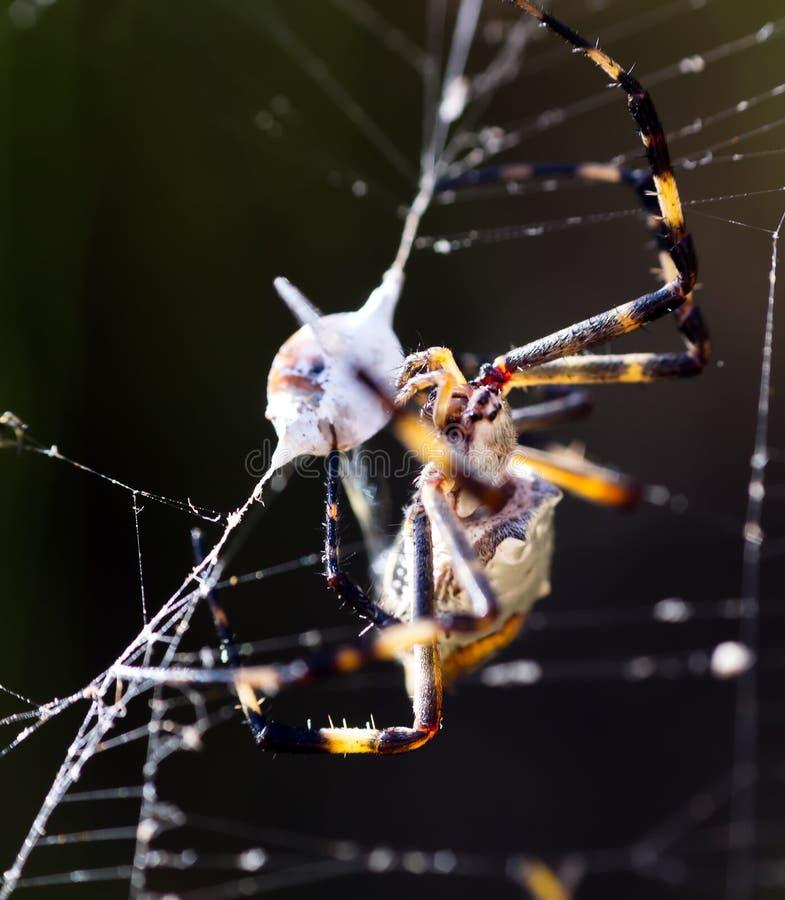 Αράχνη που επιτίθεται σε ένα ζωύφιο στοκ εικόνες