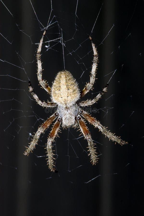 Αράχνη σιταποθηκών στον Ιστό στοκ φωτογραφίες