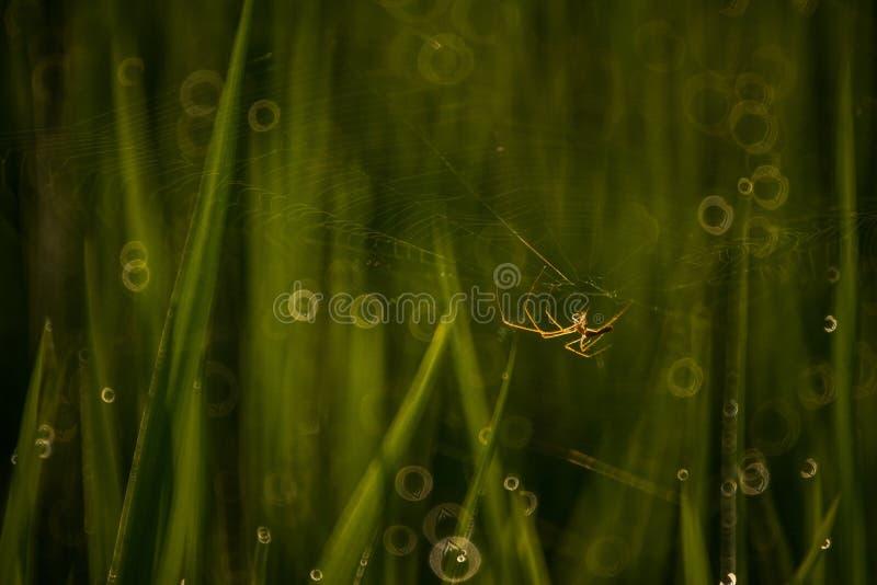 Αράχνη στον τομέα ορυζώνα στοκ εικόνες