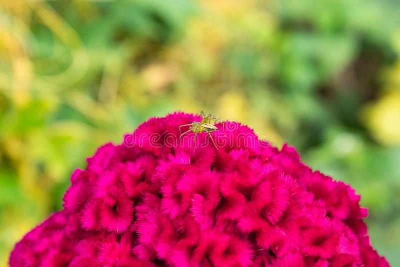Αράχνη στο argentea Celosia στον κήπο στοκ εικόνες