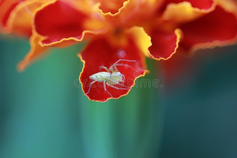 Αράχνη στο Marigold φύλλο στοκ εικόνες
