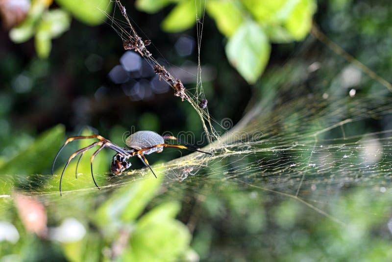 Αράχνη σφαιρών που έχει το μεσημεριανό γεύμα στοκ εικόνες