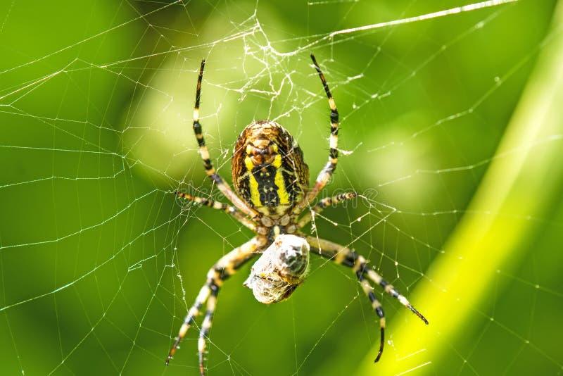Αράχνη σφηκών με το τυλιγμένο θύμα στοκ φωτογραφία με δικαίωμα ελεύθερης χρήσης