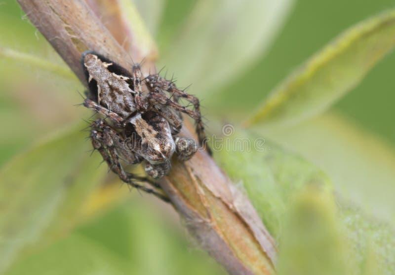 Αράχνη-λυγξ OXYOPES RAMOSUS στοκ φωτογραφίες με δικαίωμα ελεύθερης χρήσης