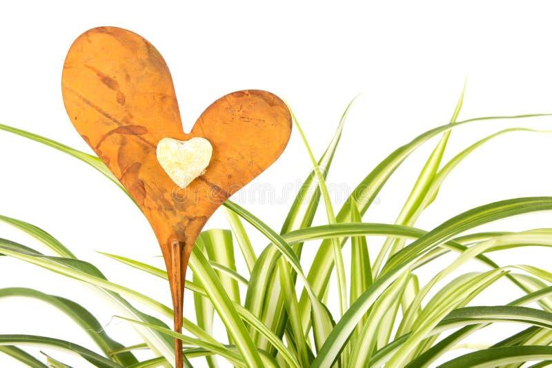 αράχνη φυτών καρδιών διακοσμήσεων στοκ εικόνες με δικαίωμα ελεύθερης χρήσης