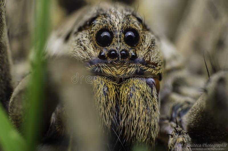 Αράχνη λύκων στοκ φωτογραφίες