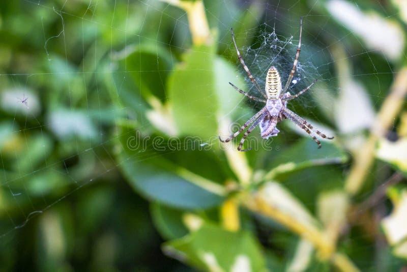 Αράχνη Argiope με ένα θήραμα στοκ φωτογραφίες με δικαίωμα ελεύθερης χρήσης