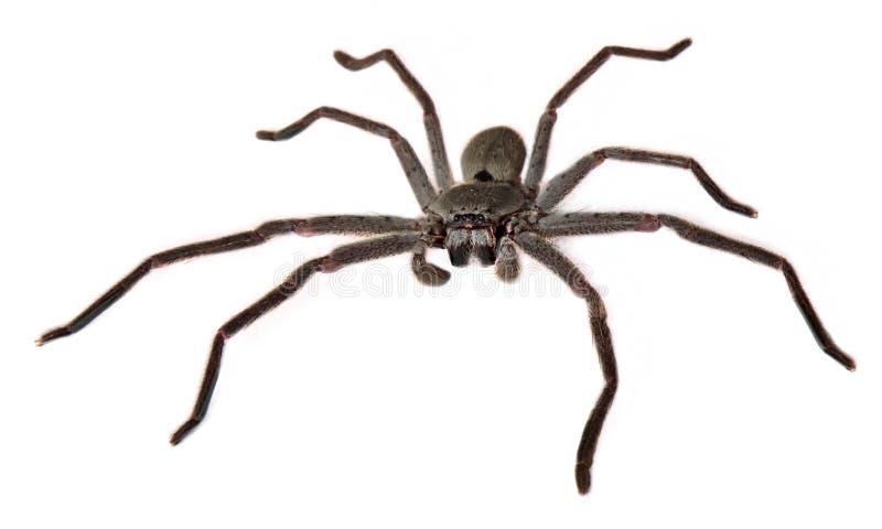 Αράχνη Huntsman της Catherine στοκ φωτογραφίες με δικαίωμα ελεύθερης χρήσης