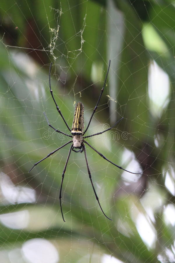 Αράχνη laba-Laba στοκ εικόνα