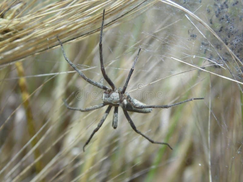 Αράχνη mums στοκ φωτογραφία με δικαίωμα ελεύθερης χρήσης