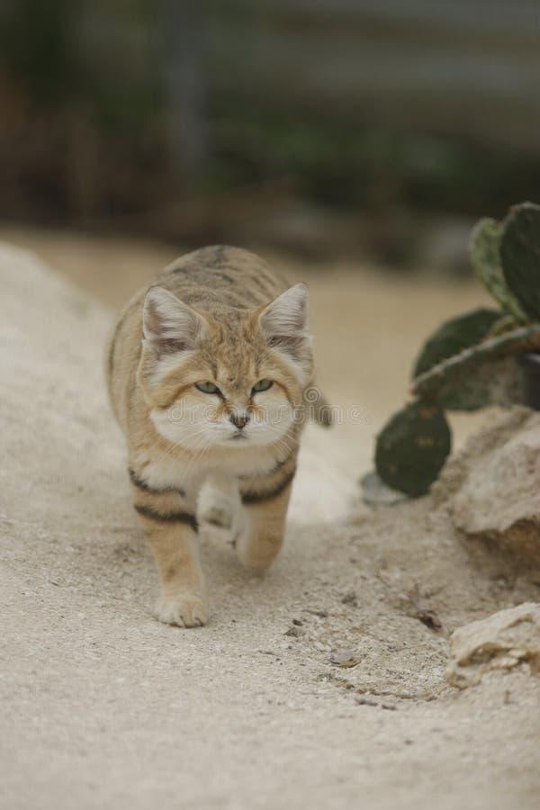 Αραβική γάτα άμμου, harrisoni Felis Μαργαρίτα στοκ φωτογραφίες