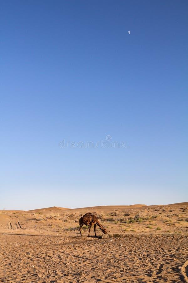 Αραβική καμήλα, που είναι γνωστή επίσης όπως dromedary, πόσιμο νερό στην έρημο Maranjab στο σούρουπο, με το φεγγάρι ορατό στοκ εικόνες