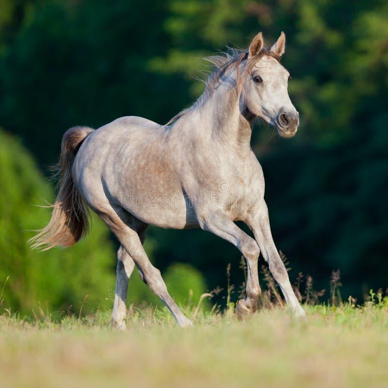 αραβικό άλογο πεδίων στοκ εικόνες