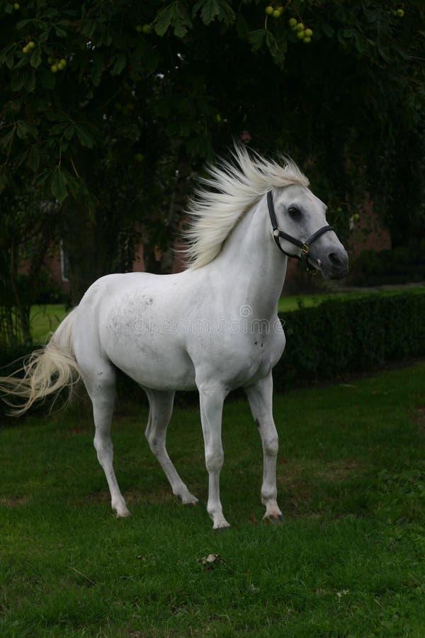 αραβικό άλογο στοκ φωτογραφία με δικαίωμα ελεύθερης χρήσης