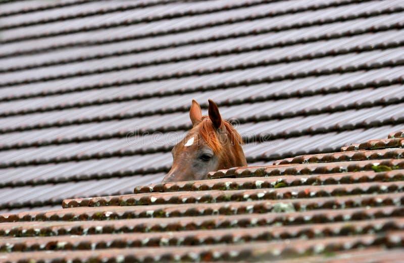 αραβικό άλογο στοκ εικόνα