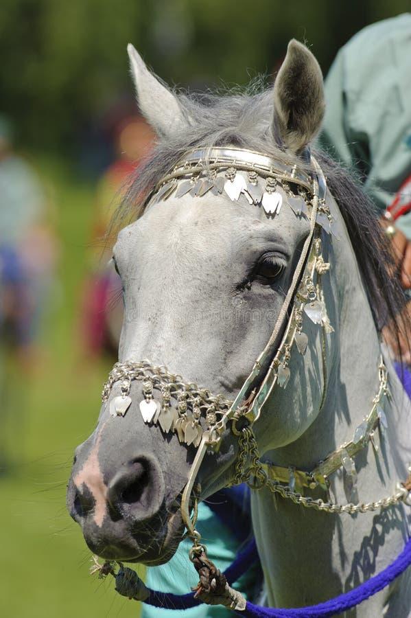 αραβικό άλογο στοκ φωτογραφία