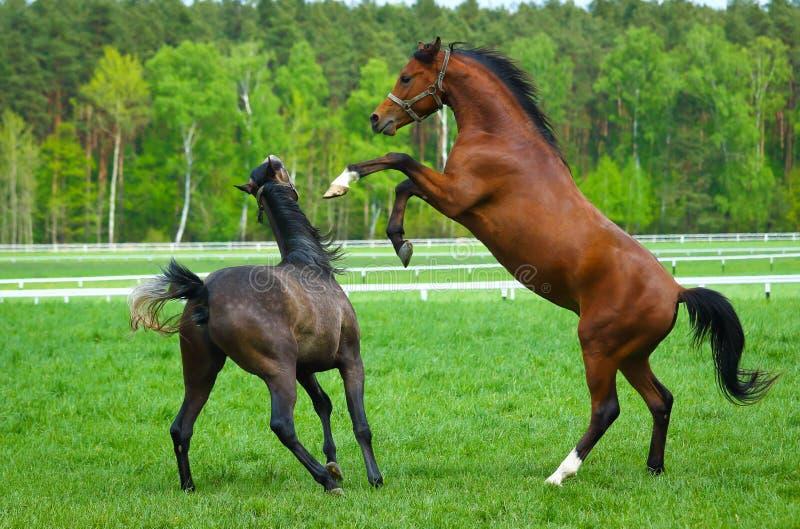 Αραβικό άλογο δύο στοκ φωτογραφίες με δικαίωμα ελεύθερης χρήσης