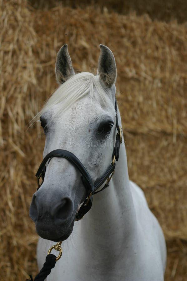 αραβικό επικεφαλής άλογ στοκ φωτογραφία με δικαίωμα ελεύθερης χρήσης