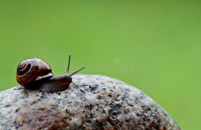 Αργά κινούμενος γυμνοσάλιαγκας σε μια πέτρα στοκ εικόνες