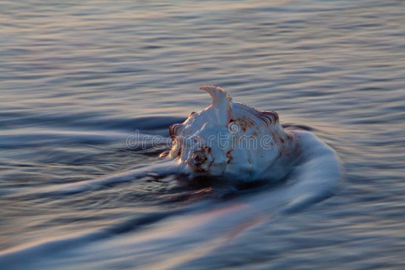 Κοχύλι Conch στο ωκεάνιο κύμα στοκ εικόνες