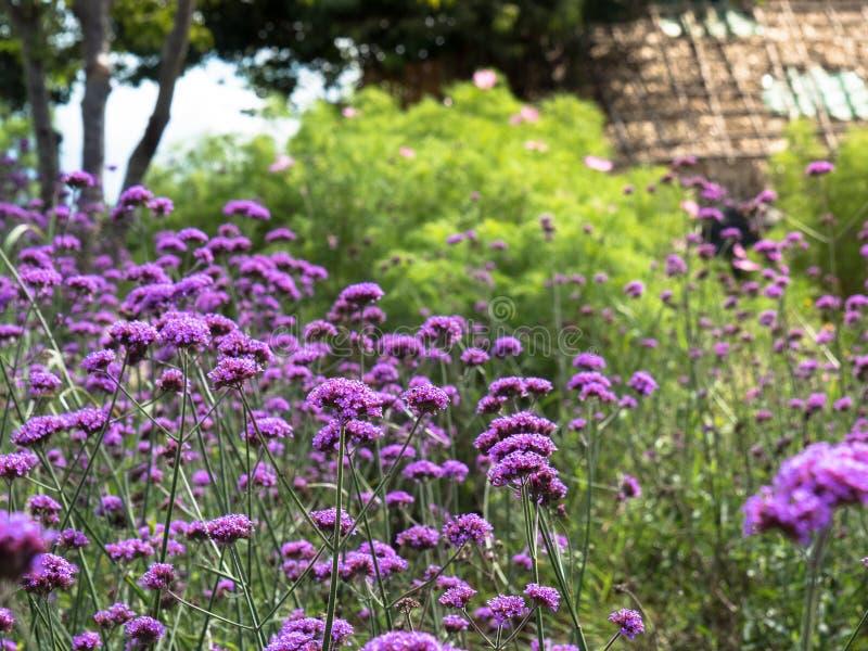 Αργεντινά λουλούδια bonariensis vervain ή Verbena στοκ εικόνα