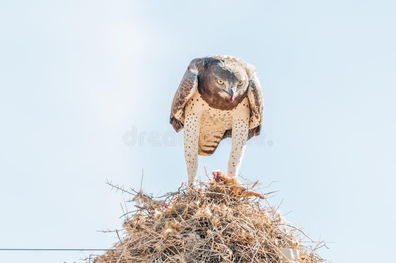Αρειανός αετός που τρώει το θήραμα στην κοινοτική φωλιά πουλιών στοκ εικόνες με δικαίωμα ελεύθερης χρήσης