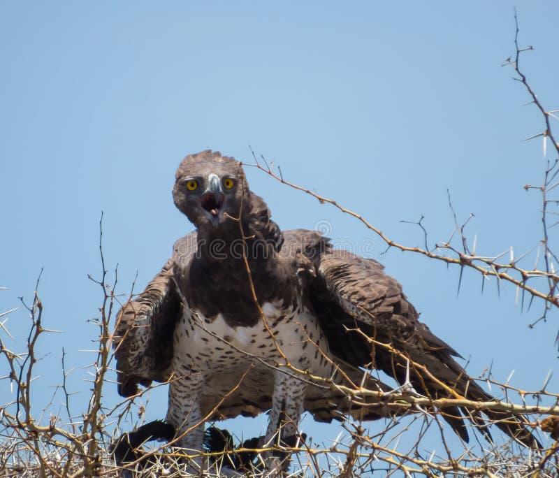 Αρειανός αετός στοκ εικόνες