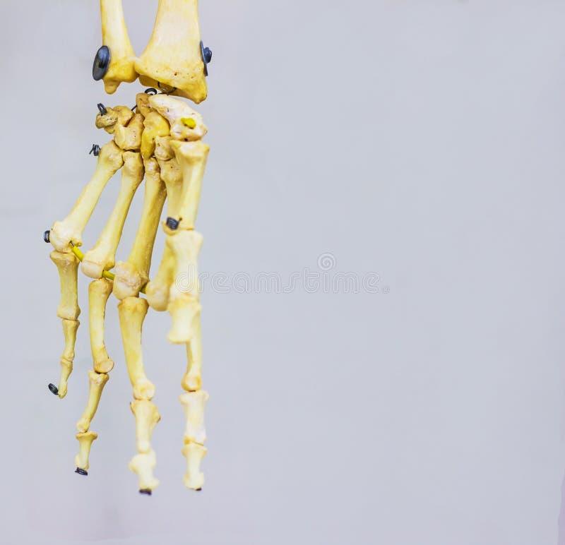 Αρθρωμένα καρπικά κόκκαλα που παρουσιάζουν ανθρώπινη ανατομία χεριών στο άσπρο υπόβαθρο στοκ φωτογραφία