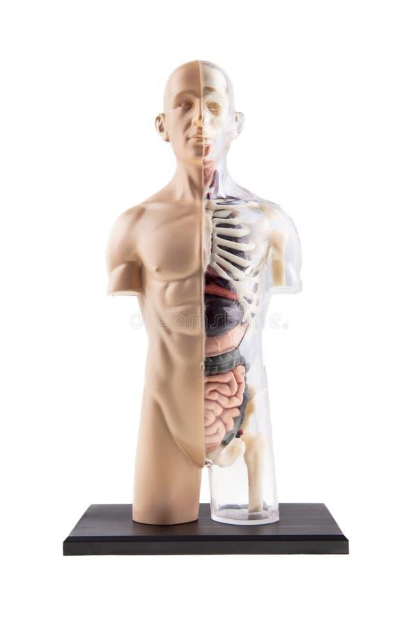 Αριθμός του ανθρώπινου σώματος - κόκκαλα και όργανα στοκ εικόνες