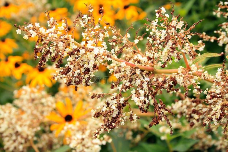 Αρκετά άσπρα λουλούδια με τα μαύρα eyed susans στοκ φωτογραφίες με δικαίωμα ελεύθερης χρήσης