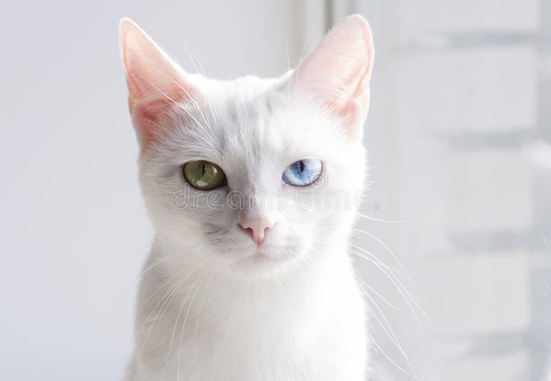 Αρκετά άσπρη γάτα με τα διαφορετικά χρωματισμένα μάτια στοκ εικόνα