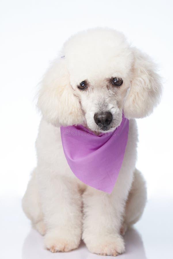 Αρκετά άσπρο poodle σκυλί στοκ εικόνες με δικαίωμα ελεύθερης χρήσης