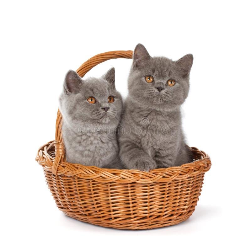 Αρκετά βρετανικό μπλε γατάκι Shorthair στο καλάθι στοκ φωτογραφία